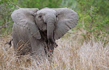 Junger Elefant im Gras - Afrika wildlife von W. Woyke