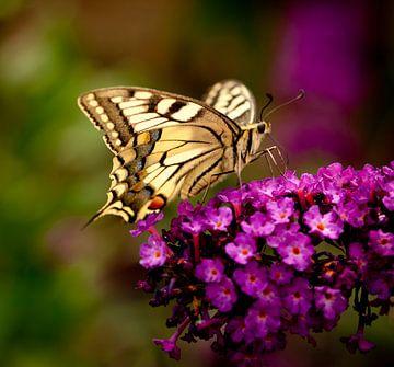 koningsvlinder von Corné van Lammeren