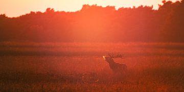 Burlend edelhert in de ondergaande zon sur Evert Jan Kip