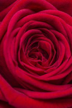 Close up van een rode roos van Studio 305