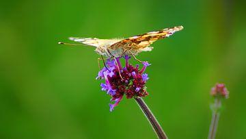 Vlinder smult aan een bloem van Masselink Portfolio