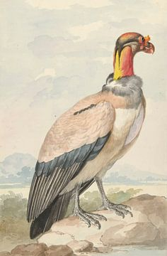 Königsgeier (Sarcoramphus daddy), Aert Schouman