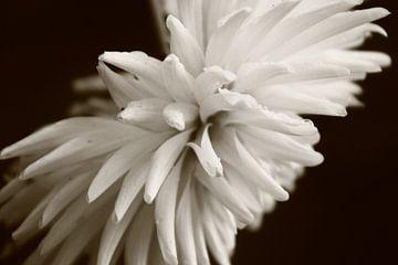 kleurloze bloem ingezoemt van milan willems