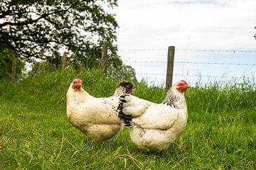 Poulets et coqs dans la nature
