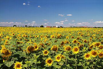 Sonnenblumenfeld in Sachsen-Anhalt von Karina Baumgart