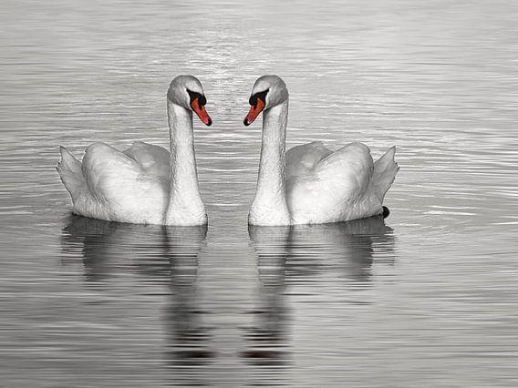 Twee zwemmende zwanen, zwart wit foto