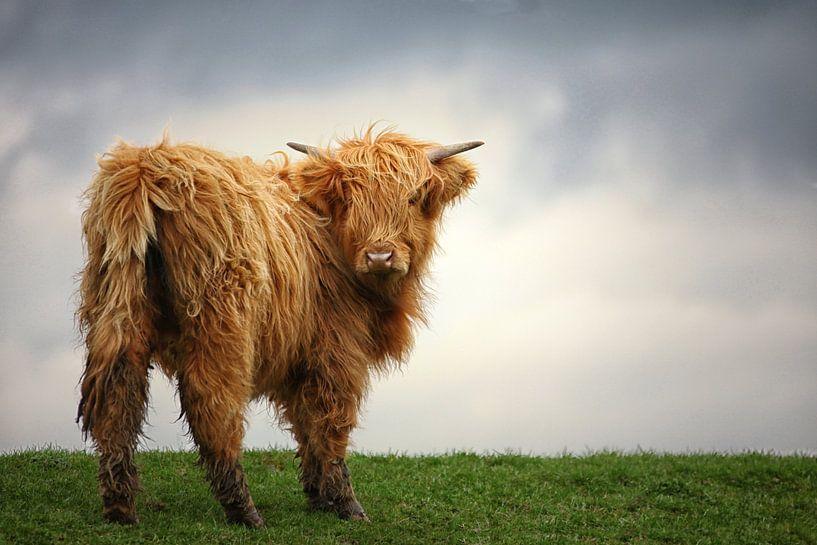 Schotse Hooglander in het gras van Elly Damen