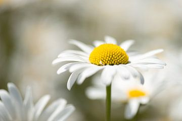 Het madeliefje, de zonaanbidster onder de bloemen
