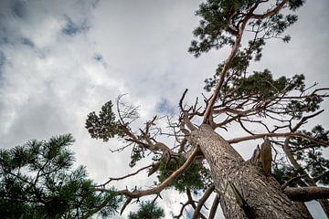 Taillenbaum 2 von Johan Vet