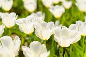 Tulipan biały van