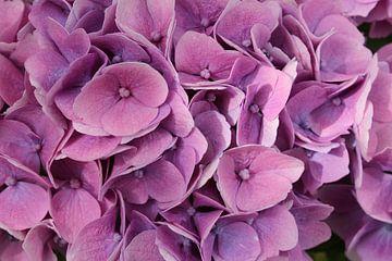 Roze en Paarse Hortensia van Mickey Tromp