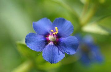 Blauwe Pimpernel van Patrick Ven