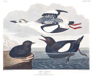 Zwarte Zeekoet
