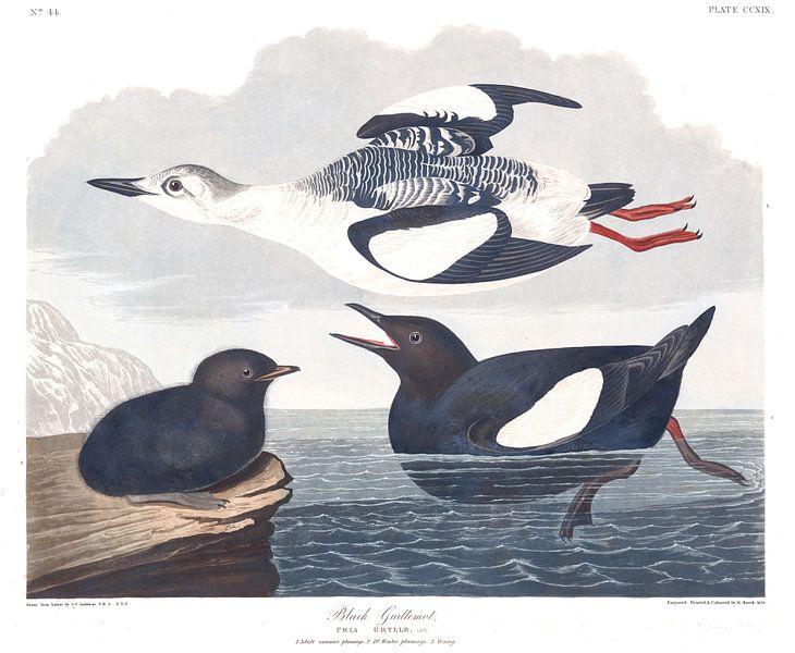 Zwarte Zeekoet van Birds of America