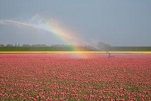 Tulpenveld in bloei met regenboog in Callantsoog van
