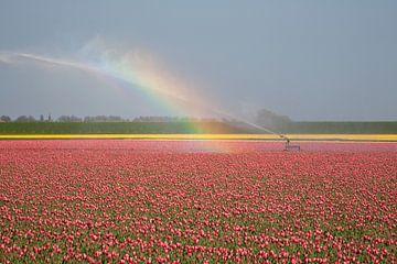 Tulpenveld in bloei met regenboog in Callantsoog van Rana Dams