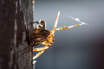 Hairy spider van AnyTiff (Tiffany Peters)