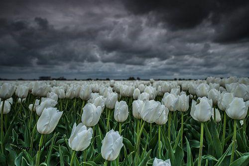 White tulips van