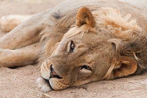 Close up van bijna slapende leeuw in Botswana