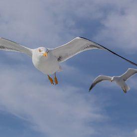 vliegende meeuwen van Contrast inBeeld