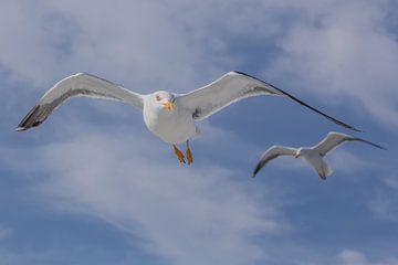 vliegende meeuwen von Contrast inBeeld