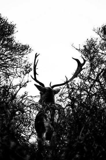 Hert met hoog contrast