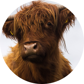 Schotse Hooglander van Nelleke Berrelkamp