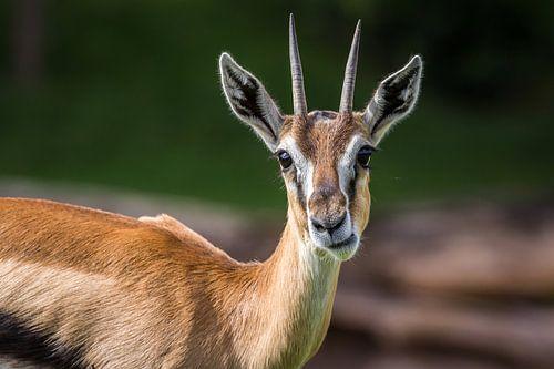 Kouwende Springbok van