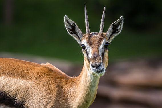 Kouwende Springbok van Edwin Mooijaart