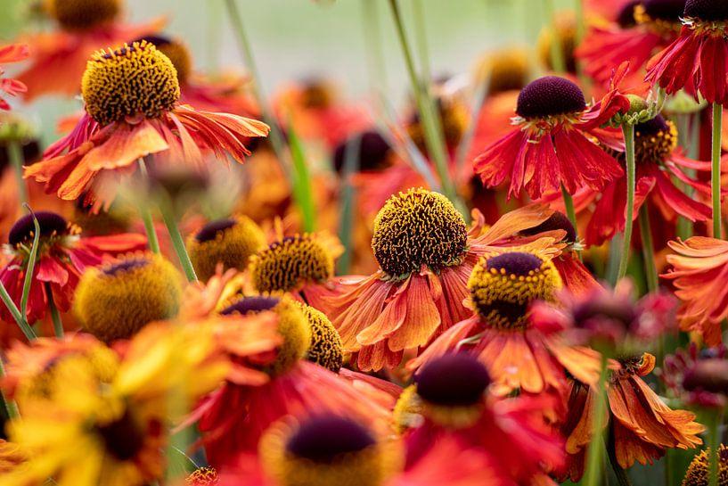 Echinacea purpurea rot von Anjo ten Kate