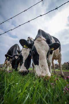 Niederländische kühe auf der Weide von Jaap de Wit