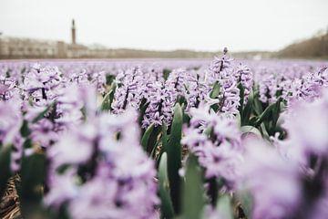 Felder mit lila Hyazinthen von Sanne Dost