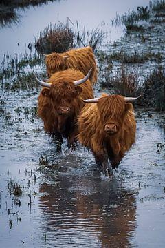 Schotse Hooglanders in de Biesbosch van Génol de Jong