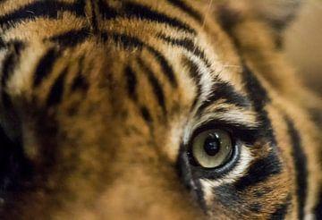 tijger von Jeffrey Tukker