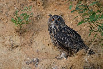 Eurasian Eagle Owl ( Bubo bubo ) in the slope of a sand pit, wildlife, Europe van wunderbare Erde