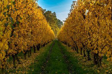 Appelboomgaard in herfstkleuren van Jochem van der Blom