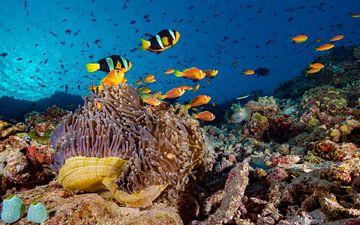 Koraalrif met zwarte en zwartvin anemoonvissen von victor van bochove