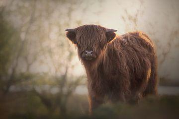 Schotse hooglander kalf van Heidi van den Bogaard