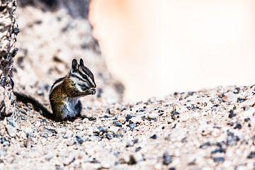 Chipmunks  ( Wangzakeekhoorns ) van Eric van Nieuwland