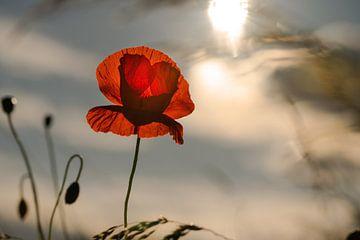 Sonnenblume zum Sonnenuntergang von Kurt Krause