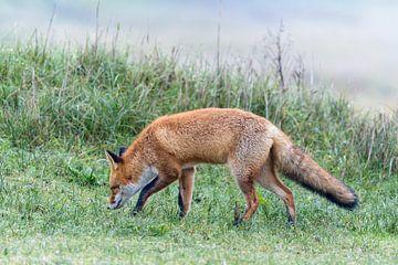 Rode vos van Ronald van Emmerik