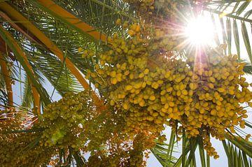 Palmboom met vruchten van