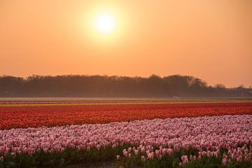 Zonsondergang bij de tulpen van As Janson