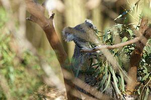 Koala door de boom gezien