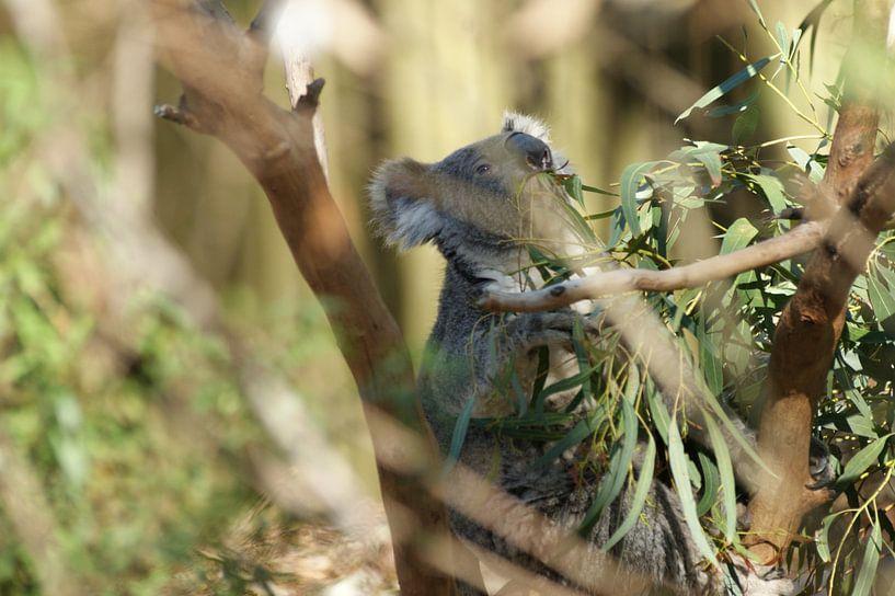 Koala door de boom gezien van Sander van Klaveren
