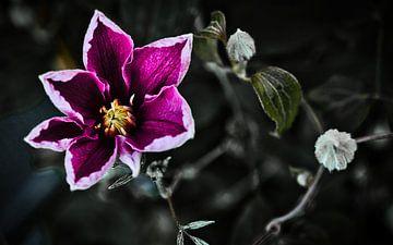 Clematis von Sran Vld Fotografie