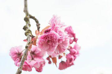 Voorjaars kersen bloesem 6904006304 fotograaf Fred Roest van Fred Roest