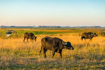Waterbuffels in de Brabantse Biesbosch van Ruud Morijn