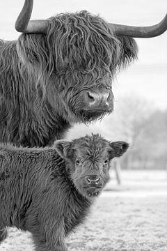 Highlander Kühe von Paula Darwinkel