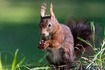 Eichhörnchen von Adriaan Westra
